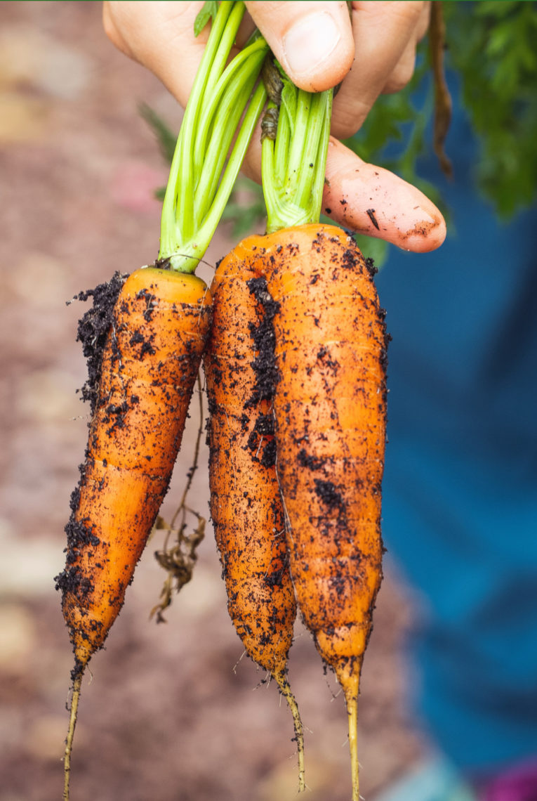Agriculture Carrots Dirty