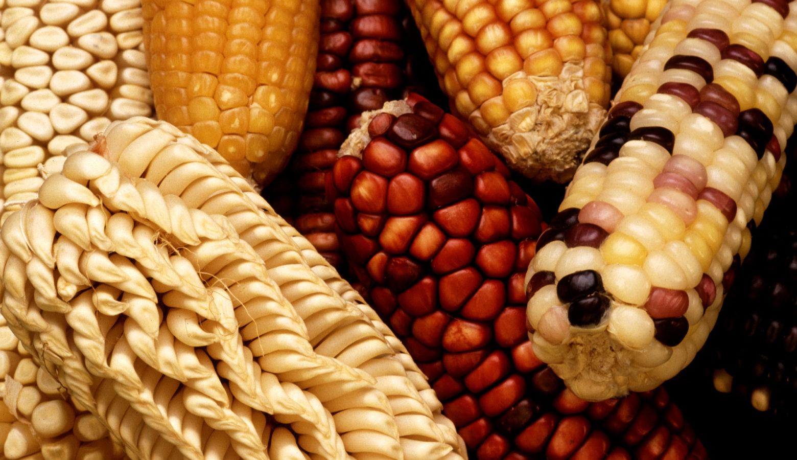 Gem Corn