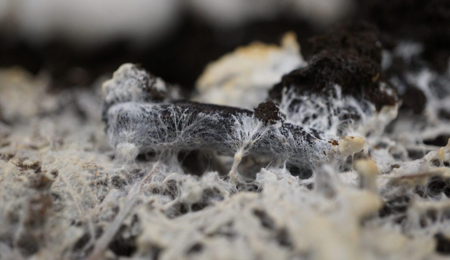 Mycelium Alison Harrington CC BY SA