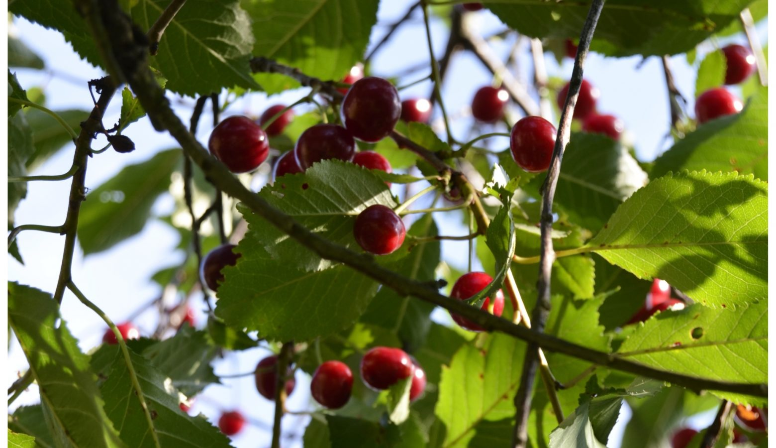 Kirsebær4