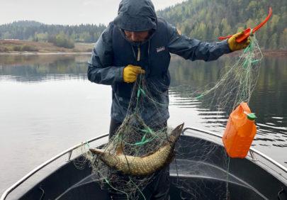 Gjeddefiske i Siljan