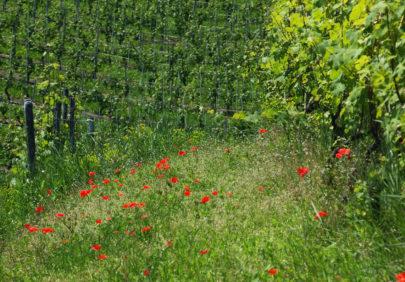 Økologisk vinmark