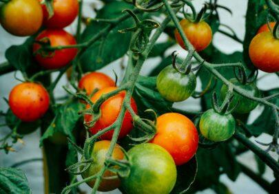Tomater dan gold 4 Li UI Y2m I8 unsplash