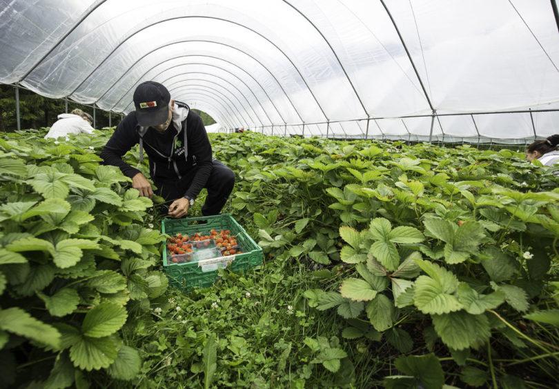1 Vi Forbrukere Jordbaer Foto Leif Arne Akset