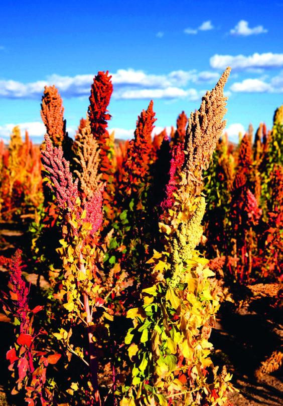 Quinoa I Stock